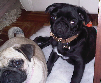 pug dogs are so grumpy to look at!